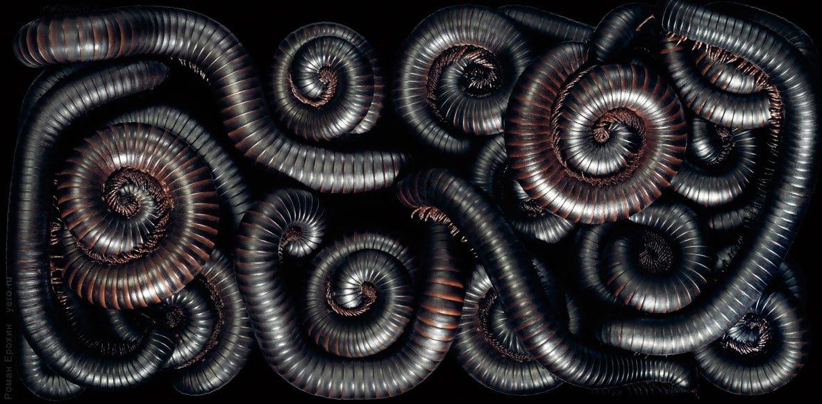 2_archispirostreptus-gigas-aliens