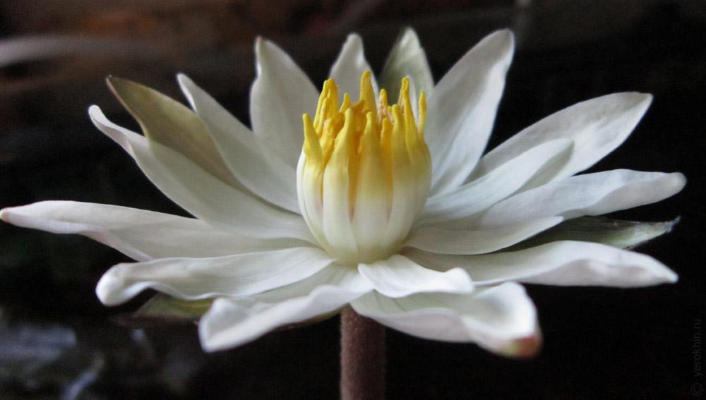 lotus001