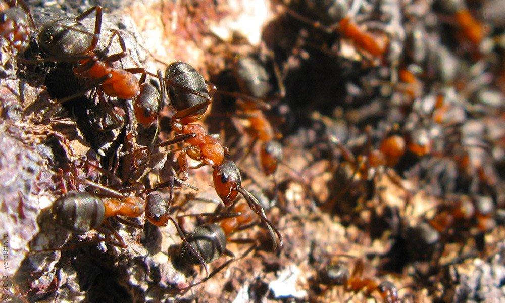 _photo-ants