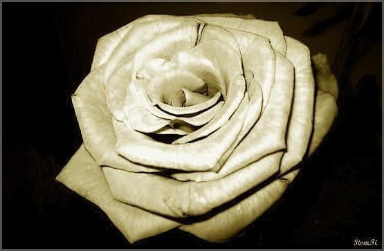 Пресная роза
