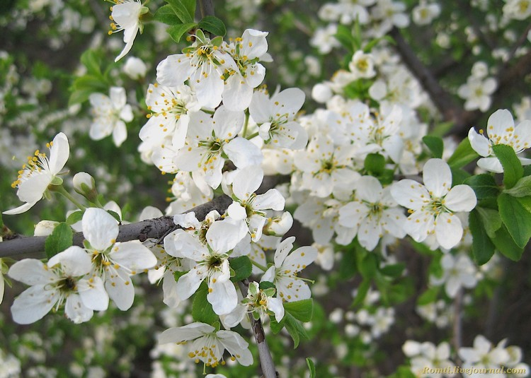 Деревце в цвету