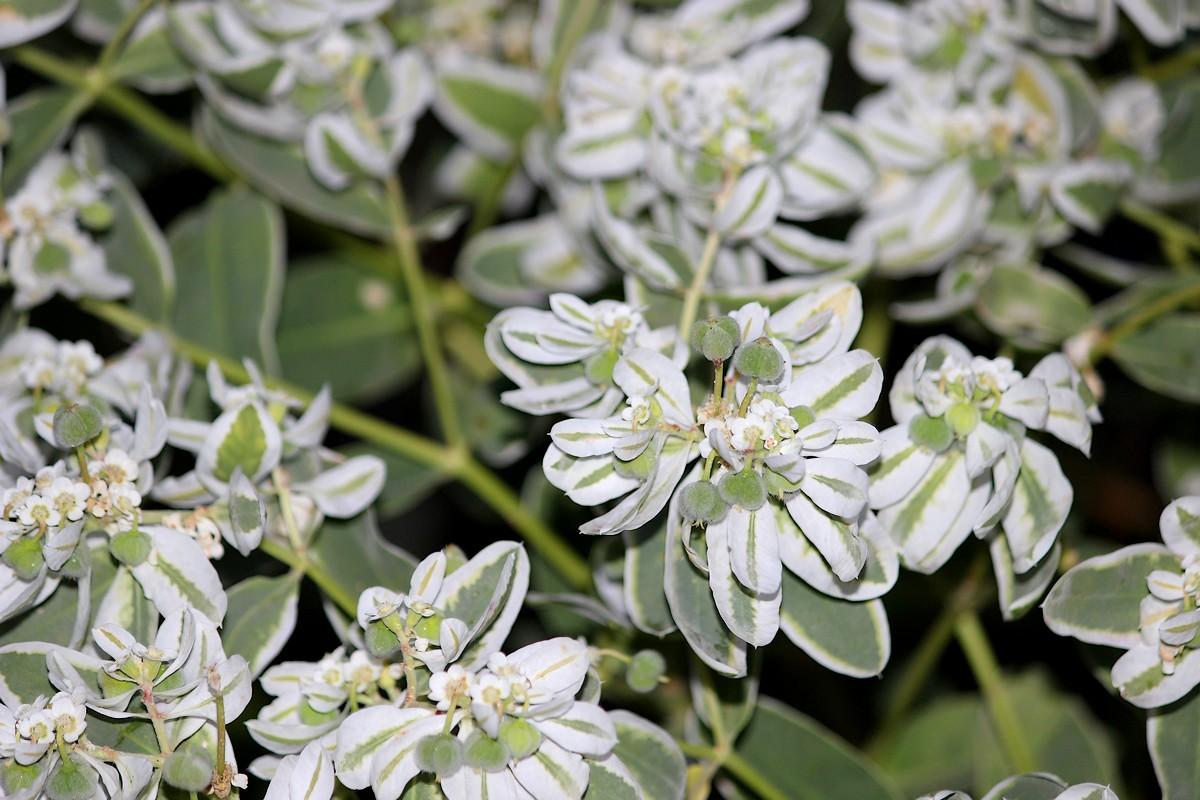 фото крымский цветок богатая невеста садовый все остальные