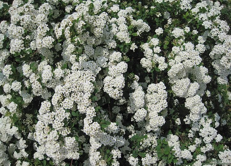 Кусты цветут