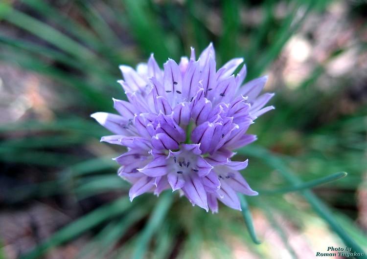Цветёт лук