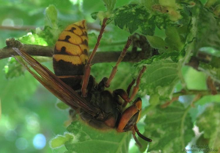 Гигантская пчела