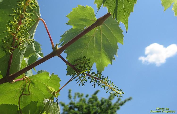 Виноград на подходе