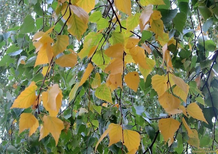 Берёзы сбрасывают листву