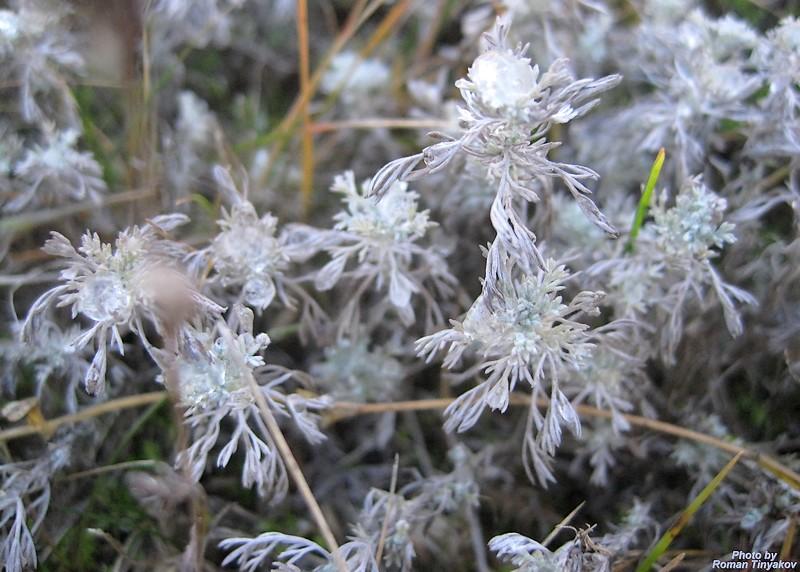 Бледная трава