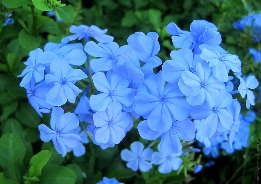голубые цветы названия и фото
