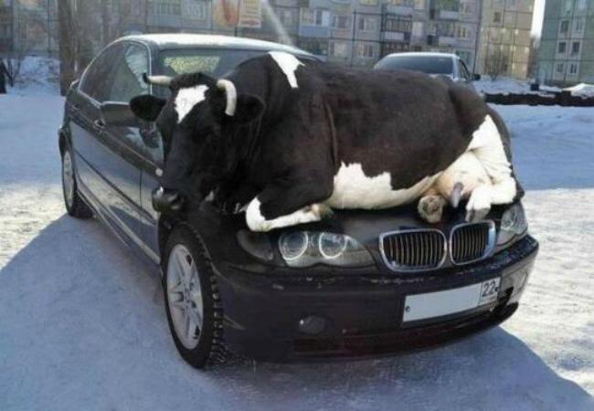 Машина и корова.jpg