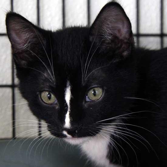 greg, kitten for adoption at hwac, 7-3-13