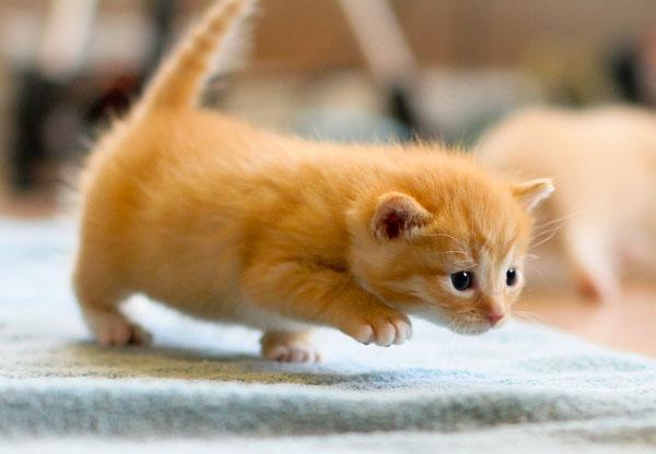 walking orange kitten