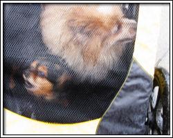 2010 Rose Festival - dogs in velomobile