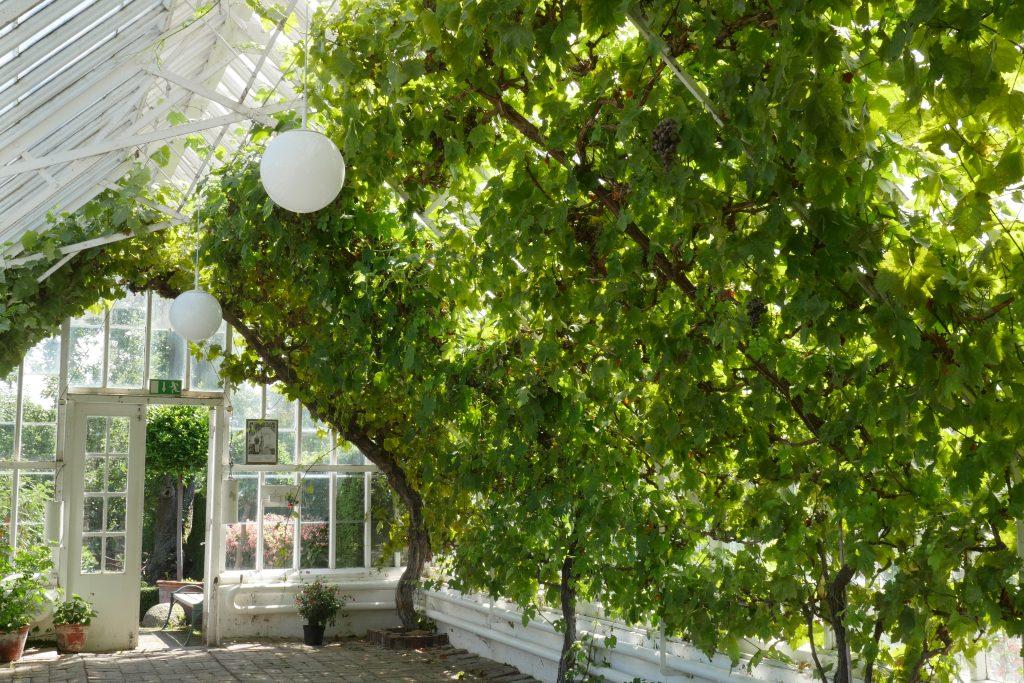Оранжерея, в которой вызревает великолепный виноград — и где по-прежнем плодоносят несколько лоз, посаженные Густав VI Адольфом