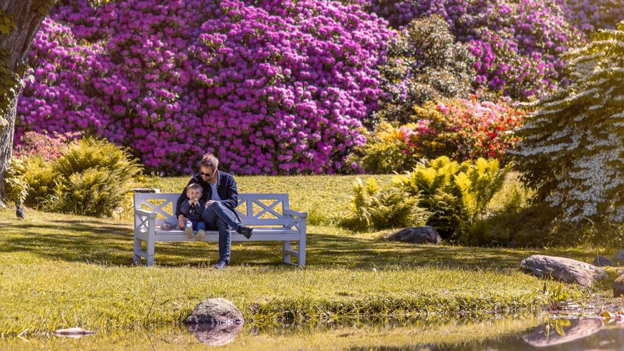 Цветение рододендронов в Софиеру