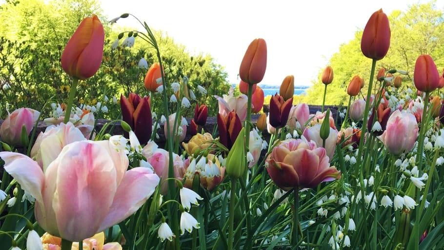 Цветущие луковичные в Софиеру в 2021 г. были скомпонованы ландшафтным архитектором Mona Wembling.