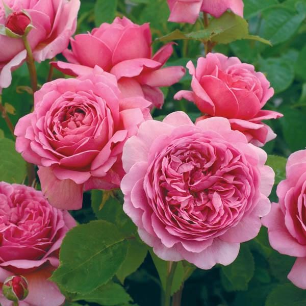 """Роза """"Принцесса Александра Кентская"""" (""""Princess Alexandra of Kent"""", выведена David Austin )"""