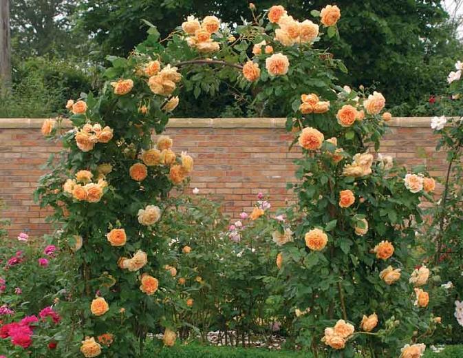"""Роза """"Королевская принцесса Маргарита"""" ( """"CROWN PRINCESS MARGARETA"""", тоже David Austin)"""