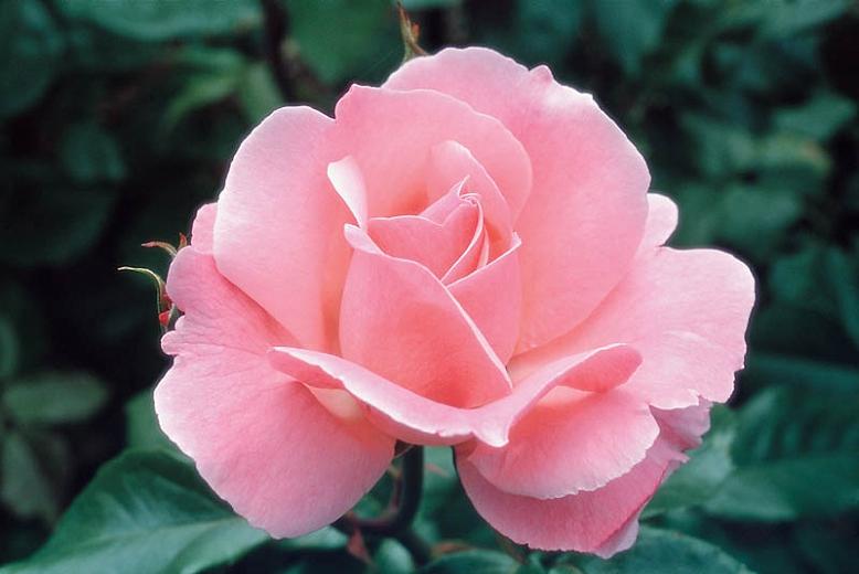 "Роза ""Королева Елизавета"" (""Queen Elisabeth "", Polyantha — группа)"