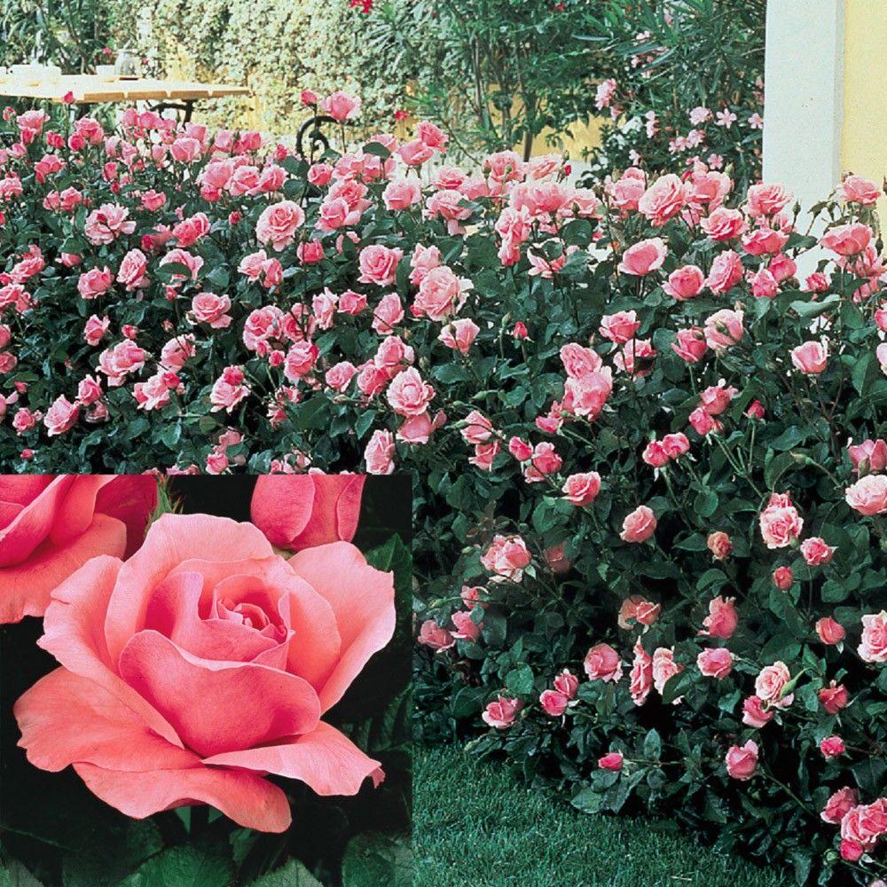 В честь Елизаветы II назван не один сорт роз, из разных групп