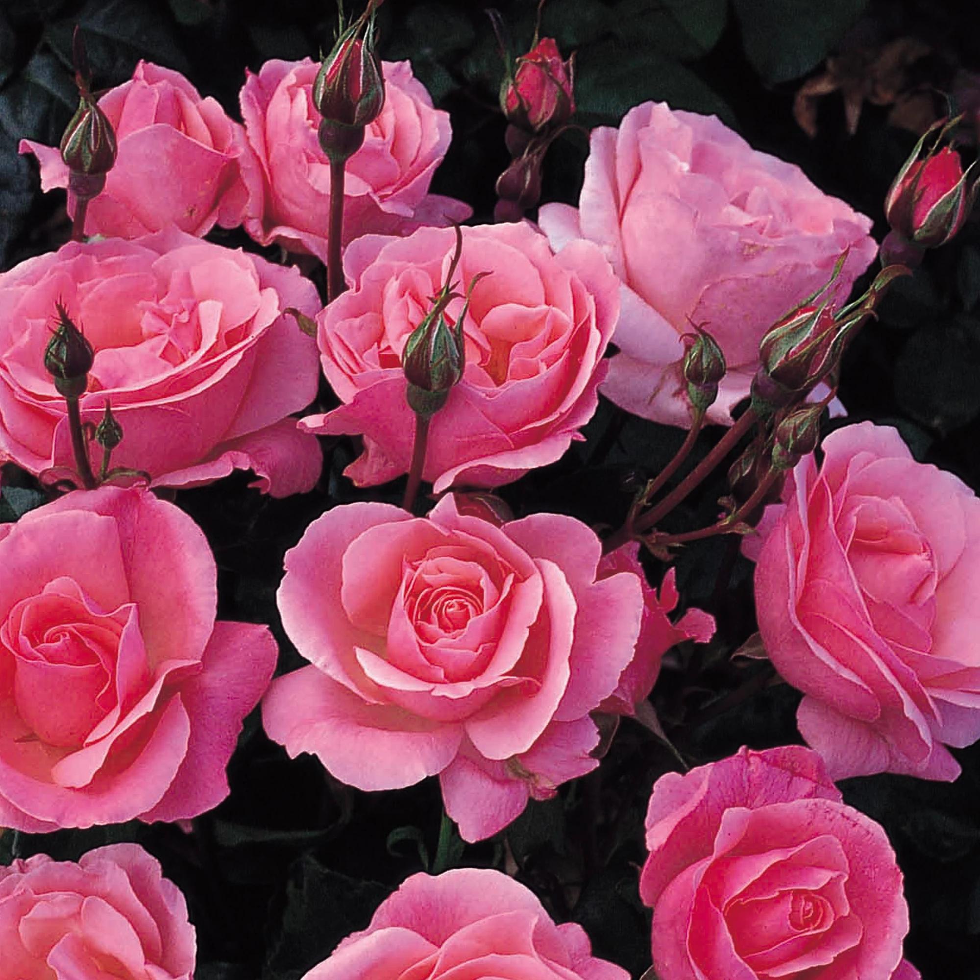 """Floribunda — группа, уже другая роза с именем """"Королева Елизавета"""""""