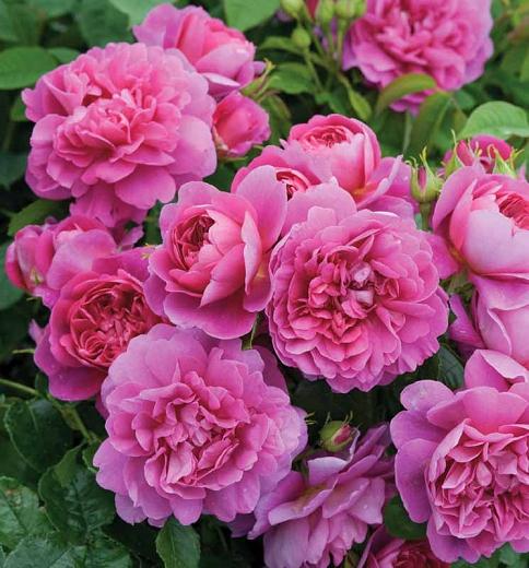 """Роза """"PRINCESS ANNE"""", в честь королевской принцессы Анны ( тоже  """"аустинка"""")"""