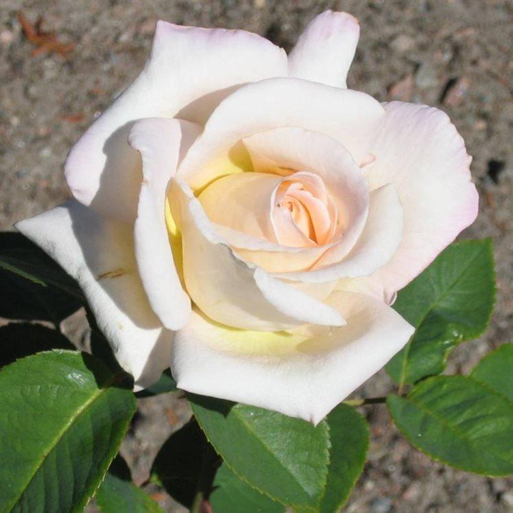 """Роза в честь шведской королевы """" Королева Сильвия"""" (Tehybrid-группа, """"Drottning Silvia"""")"""