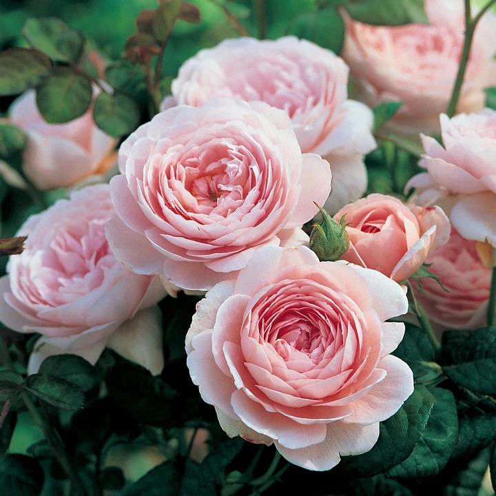 """Другой сорт розы в честь королевы Швеции Сильвии,""""QUEEN OF SWEDEN"""", создана David Austin)"""