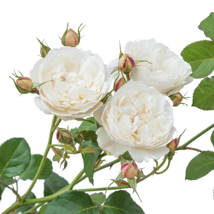"""Роза, названная в честь Кетрин и Вильяма, герцогов Кембриджских ( """"WILLIAM AND CATHERINE"""", создана так же David Austin)"""