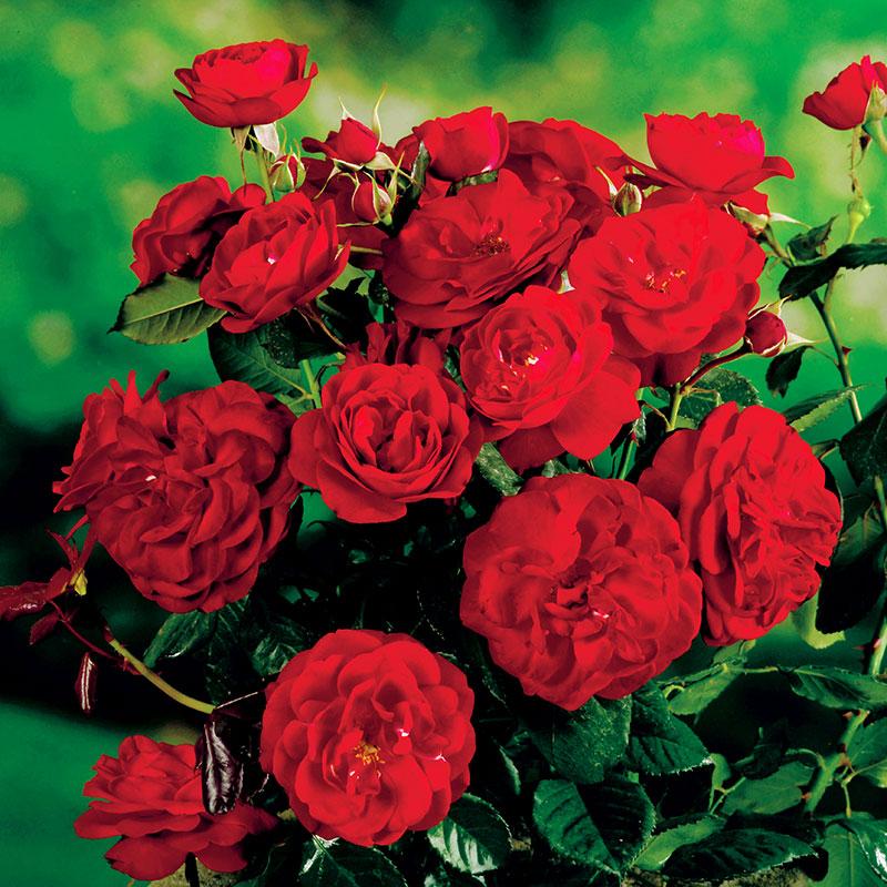 """Роза названа в честь шведского принца Карла Филиппа ( """"Carl Philip"""", Floribunda-группа)"""