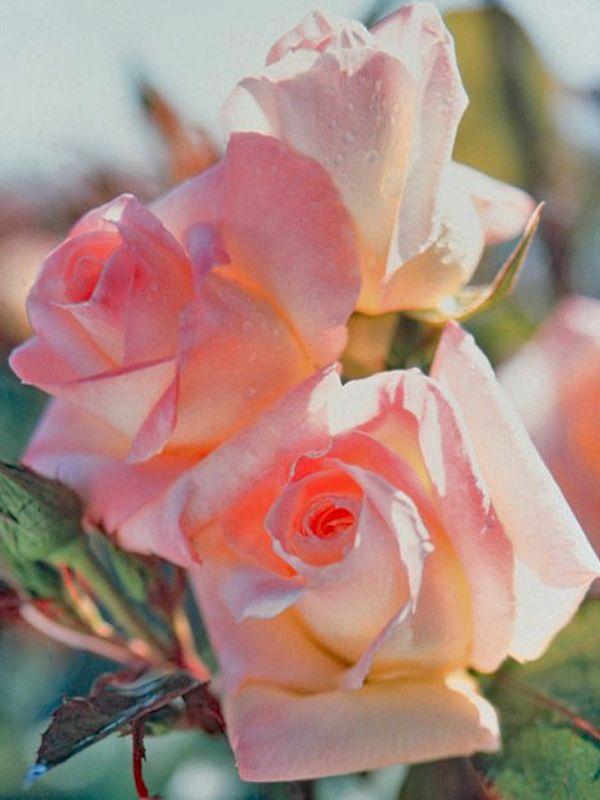 """Роза в честь принцессы Дианы ( """"Diana Princess of Wales"""", выведена в США Dr. Keith W. Zary около 1998 г и позже была выведена на рынок группой  Bear Creek Gardens, Inc., в 1999 г.)"""