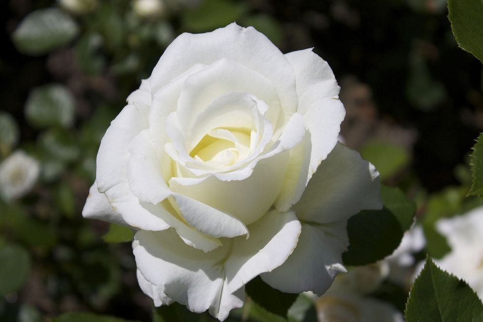 """Princess of Wales"", душистая роза"