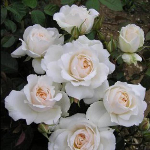"""Princess of Wales"" ( роза от Harkness )"