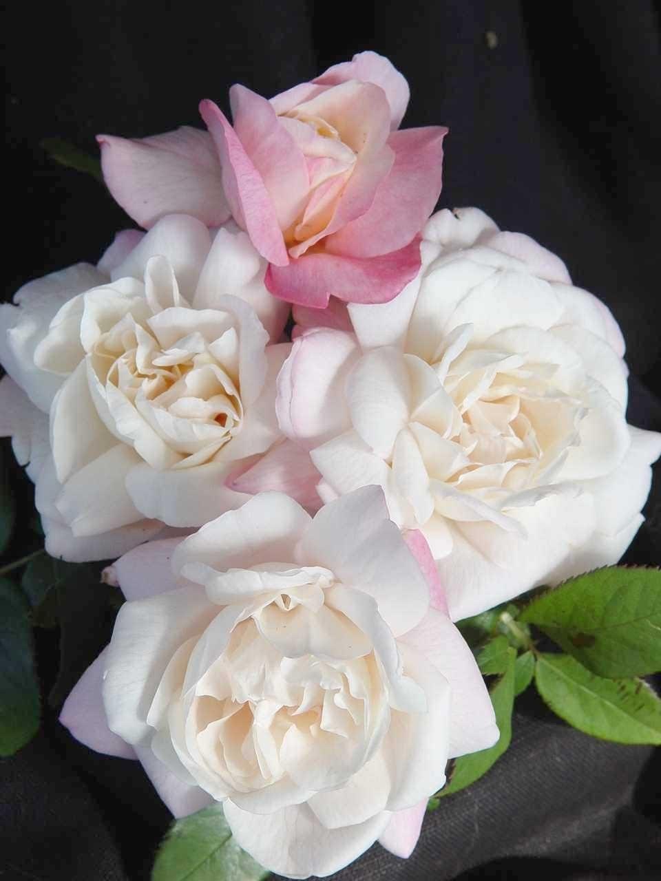 """Роза названа в честь датской кронпринцессы Мэри ( """"CROWN PRINCESS MARY"""")"""