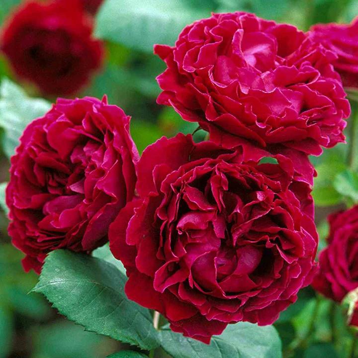 """Роза в честь герцога Эдинбургского ( """"Duke of Edinburgh"""", группа Old Rose)"""