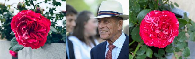 HРоза планировалась к 100-летнему юбилею герцога...