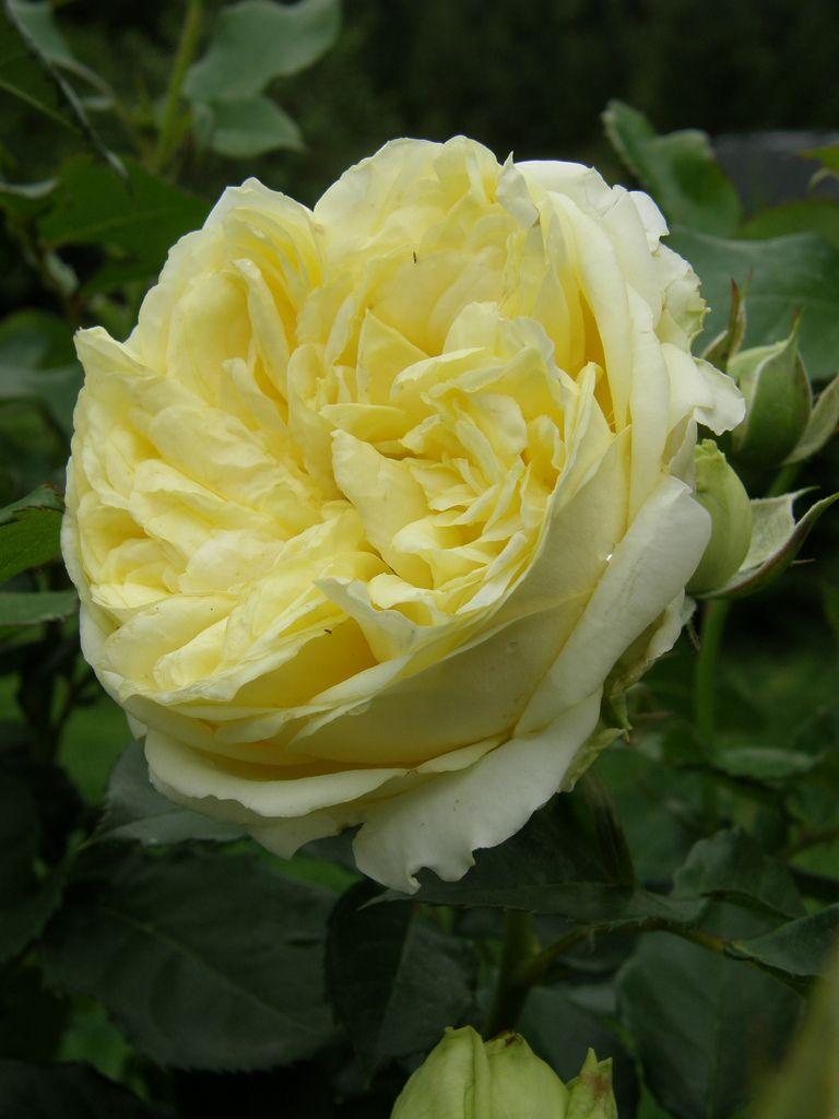 Ещё одна роза в честь кронпринцессы Мэри, австралийского создателя, группа Floribunda Bush