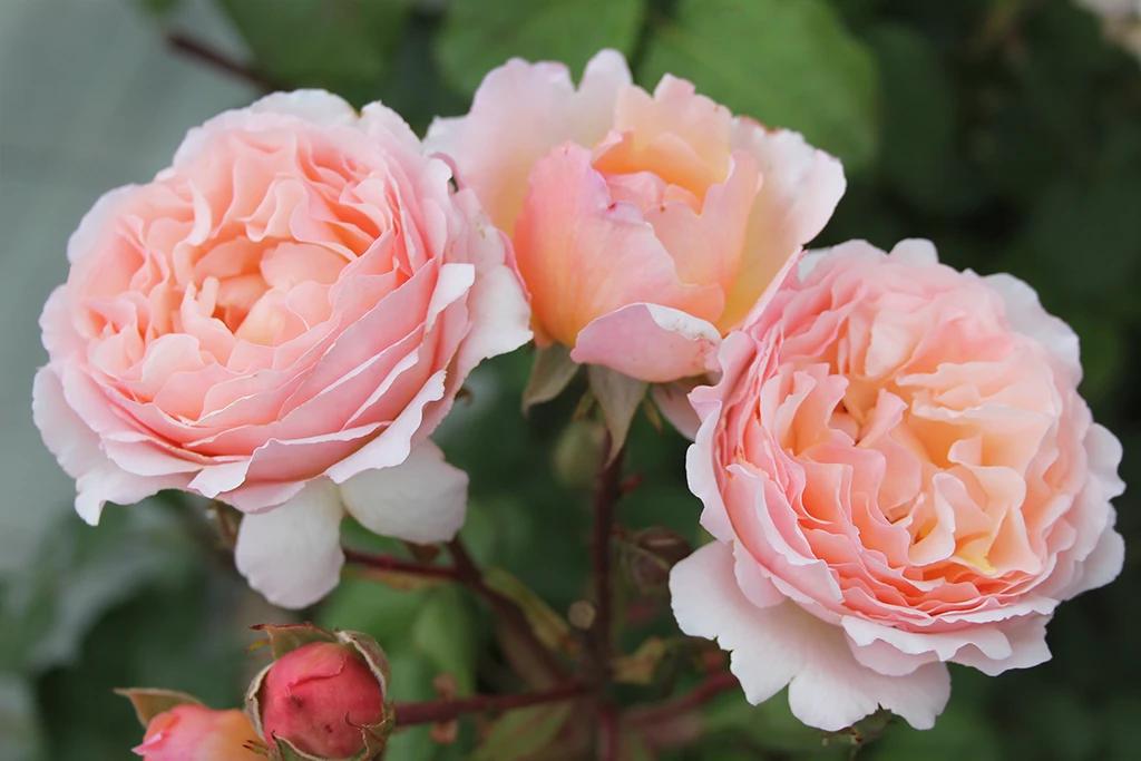"Роза ""Princesse Charlene de Monaco"""