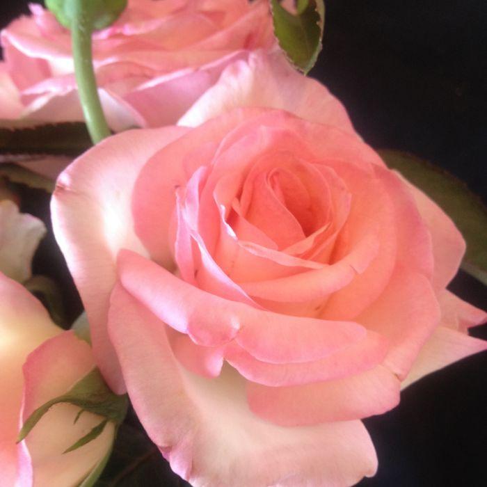 PRINCESS DE MONACO ROSE ( Hybrid tea roses)