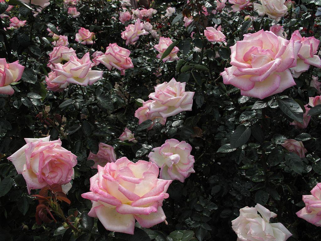 Та же роза, Принцесса Монако