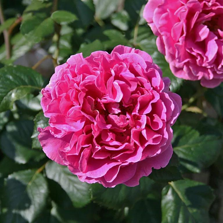 Роза PRINCESS ALEXANDRA RENAISSANCE , от датского производителя Poulsen, Дания, 1996, в честь тогда принцессы ( ныне графини) Александры