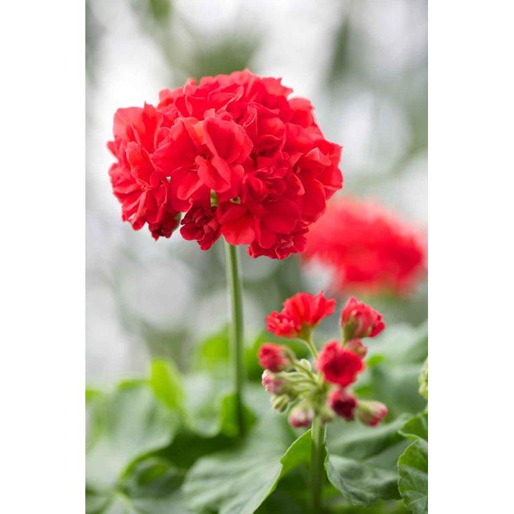 """Зональная пеларгония """"Королева Маргрете"""" ( 'Dronning Margrethe', Pelargonium x hortorum, названа в честь королевы Дании)"""