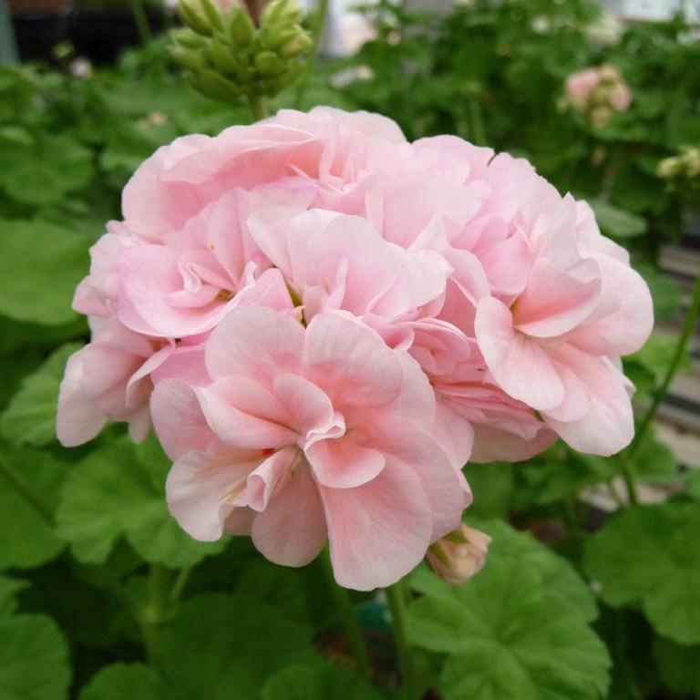 """Зональная пеларгония """"Королева Ингрид"""" ( 'Dronning Ingrid', Pelargonium x hortorum)"""