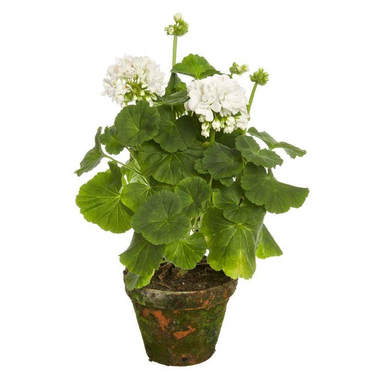 """Зональная пеларгония """"Принц Фелих"""" (Pelargonium x hortorum 'Prins Felix')"""