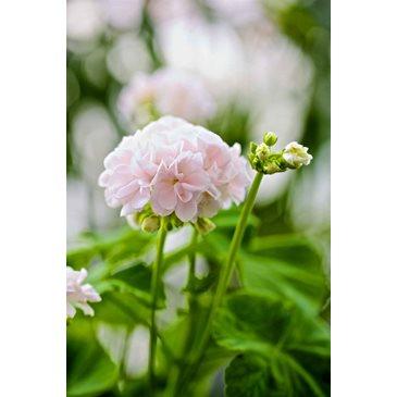 """Зональная пеларгония """"Принц Николай"""" ( 'Prins Nicolai',Pelargonium x hortorum)"""