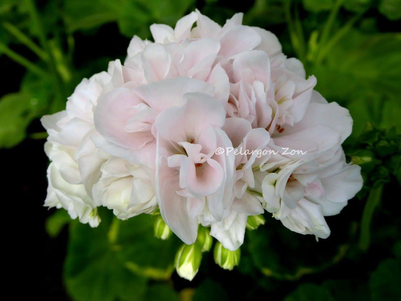 """""""Принц Николай"""" — чуть светлее цветок и не такое высокое растение, как """"Королева Ингрид"""""""