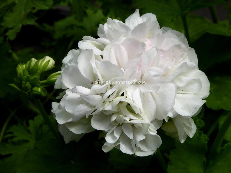 """"""" Принц Фелих"""" -белый цветок с еле-еле уловимым розовым нюансом"""