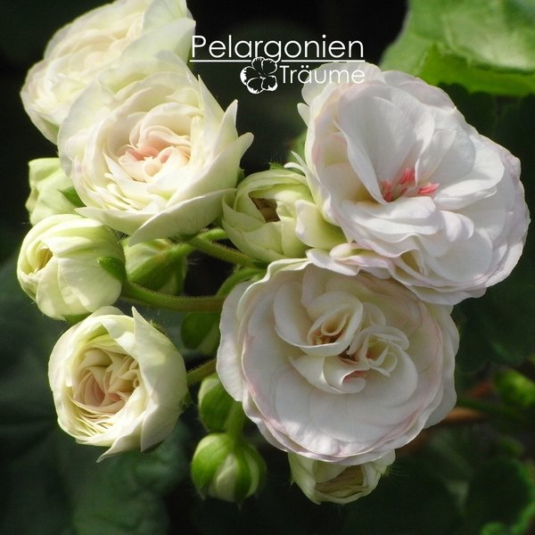 """Пеларгония """"PAC Viva Madeleine"""", в честь шведской принцессы Мадлен"""