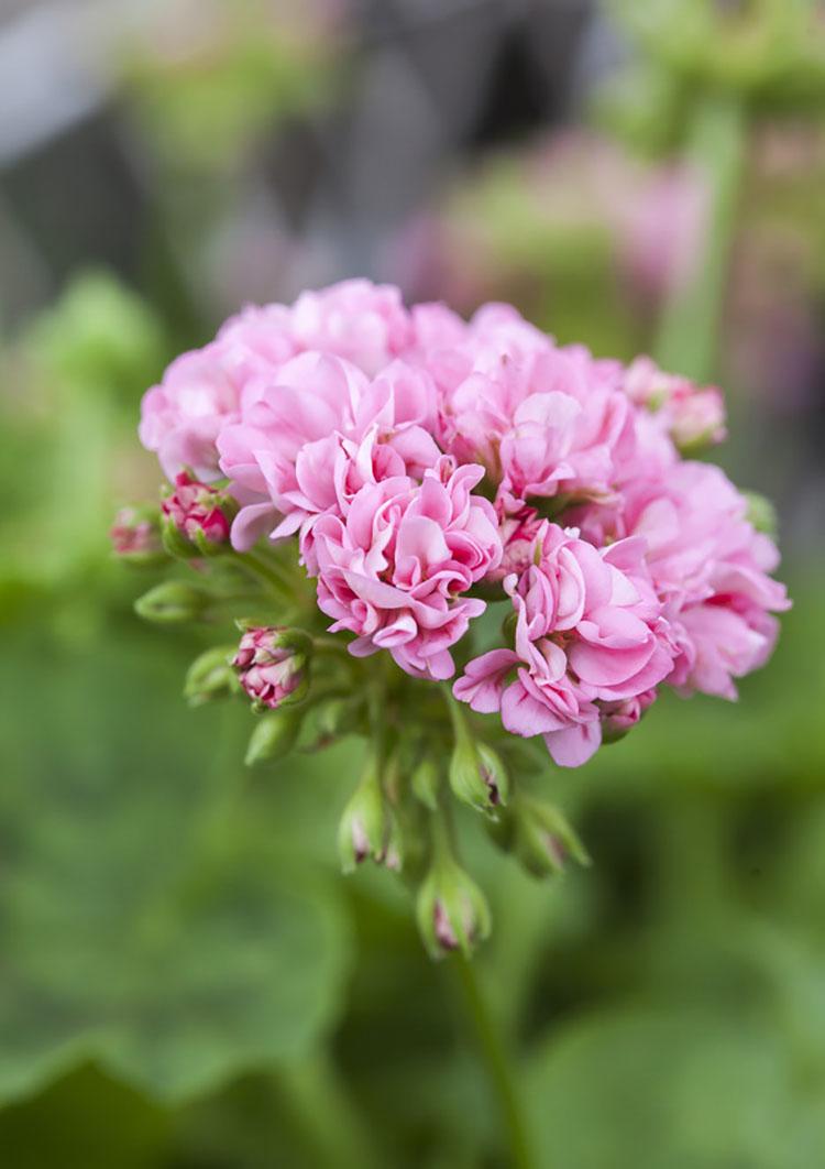 Розебудная пеларгония в честь принцессы Мадлен ( 'Princessan Madeleine' )