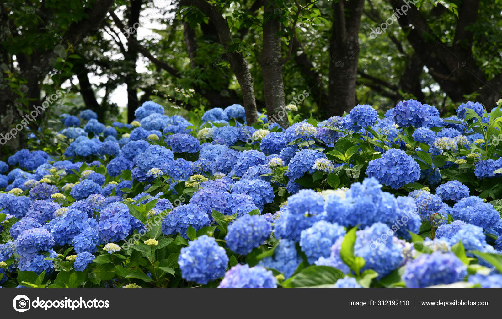 """Гортензия из """"Королевской""""  серии, сорт """"Early Blue"""" ( Hydrangea macrophylla)"""